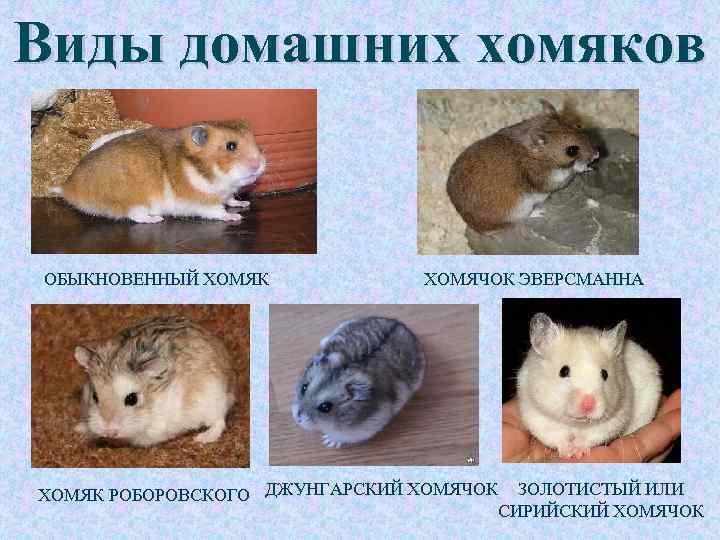 Породы хомяков с фотографиями - виды хомячков с названиями и фото, какие бывают. - petstime.ru