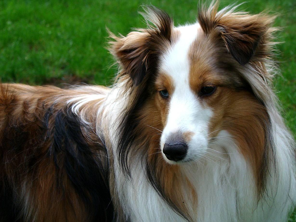 Неизвестные колли: породы собак, о которых вы даже не догадывались