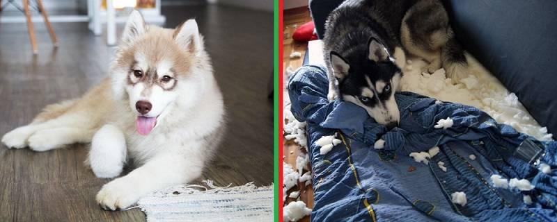 Щенки хаски: обаятельные малыши с внешностью волчат