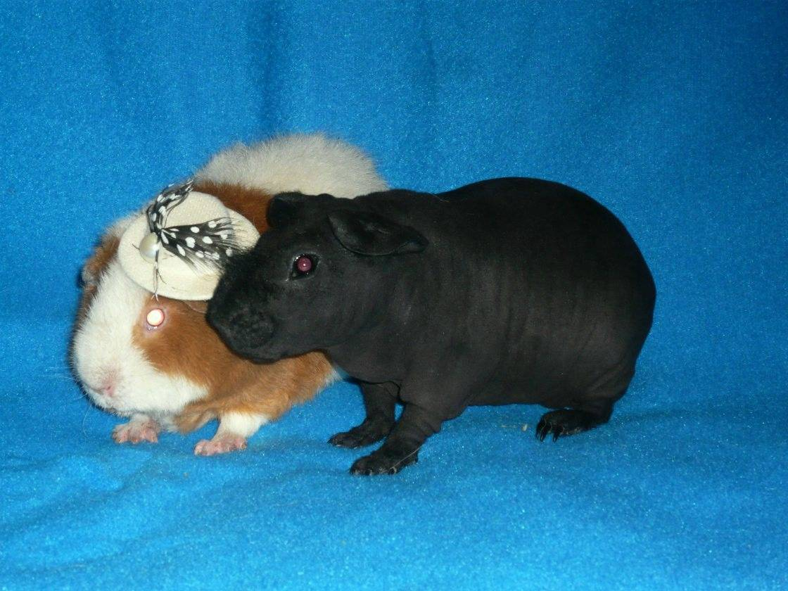 Лысые морские свинки - болдуин и скинни - люблю хомяков