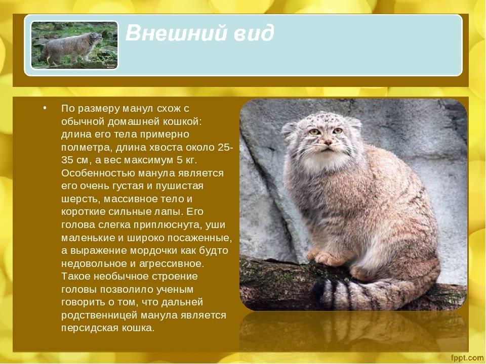 Кот манул: примеры размера и веса степного животного