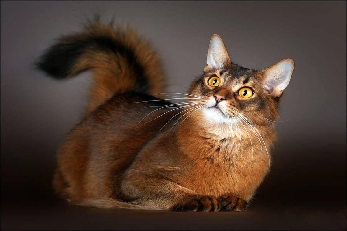 Сомалийская кошка. описание, особенности, уход и цена сомалийской кошки | животный мир