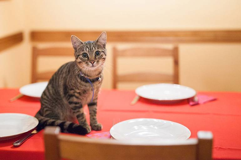 Как отучить кошек и котов лазить по столам | прыгать и ходить по столу