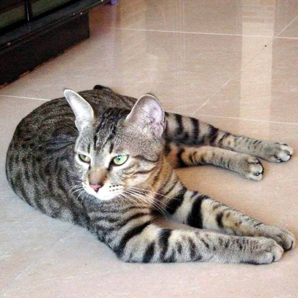 Китайская или гобийская серая кошка