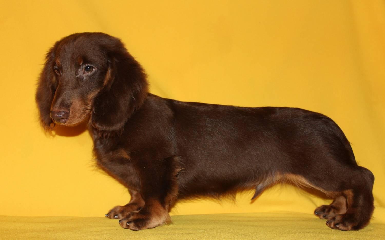 Как содержать длинношерстную мини таксу: описание породы, правила ухода, фото взрослой собаки