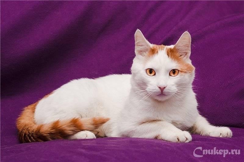 Анатолийская кошка: фото, описание породы, характер и разведение