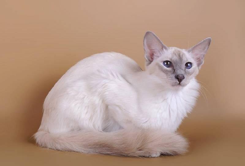 Сейшельская кошка: история, характер и внешний вид