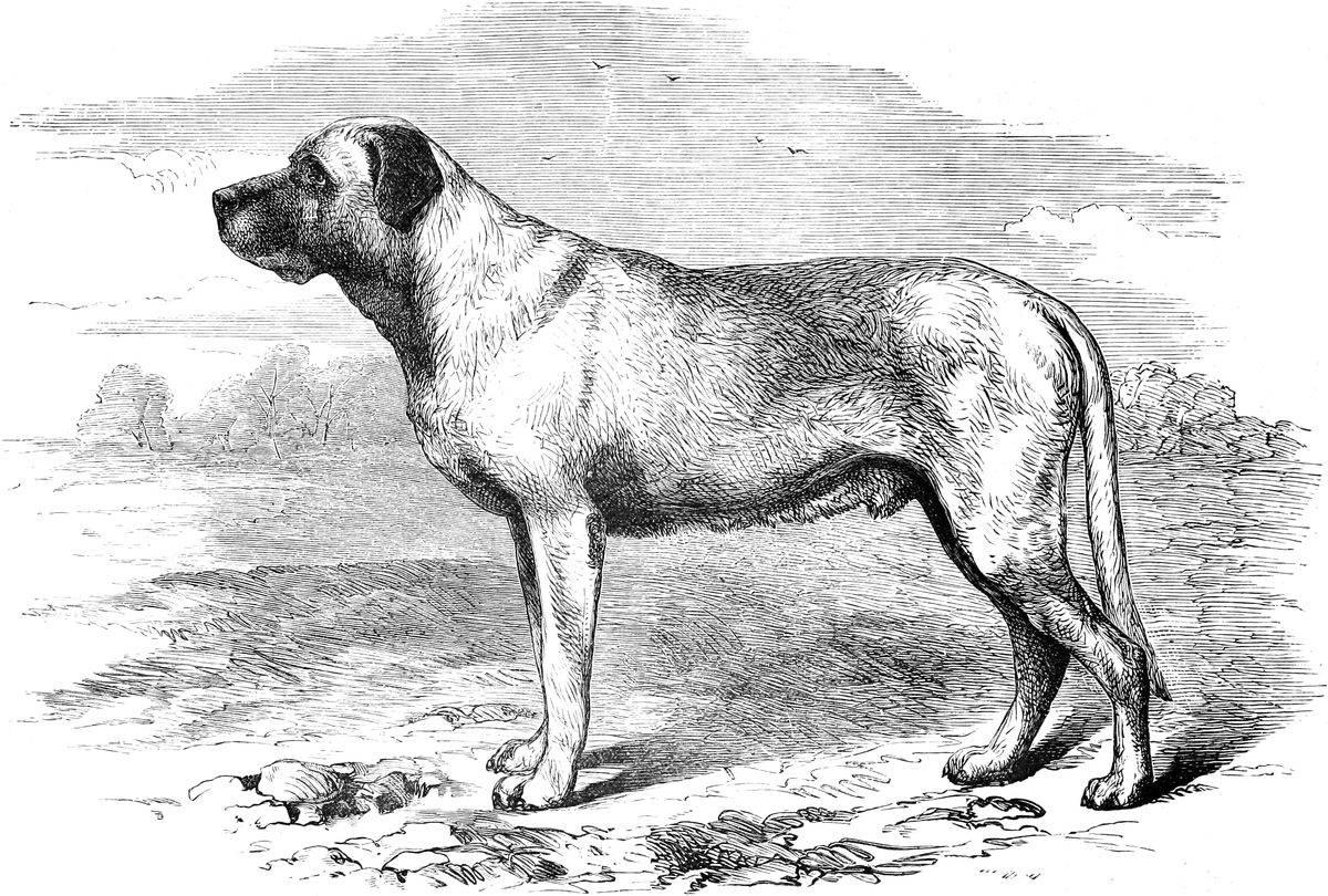 ᐉ породы собак, которые уже исчезли с лица земли - zoovet24.ru