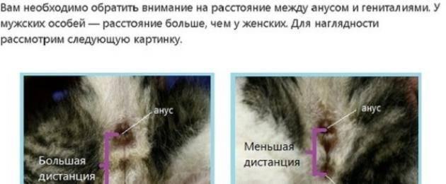 Как понять, что кошка беременна: на каком сроке   zoosecrets