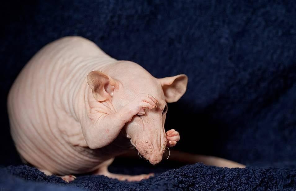 Какие бывают виды и породы декоративных домашних крыс?
