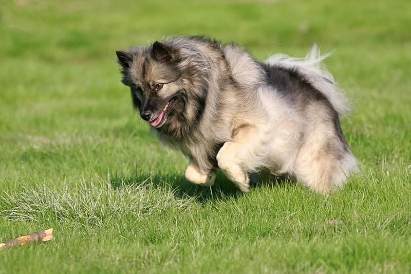 Собака кеесхонд (вольфшпиц)