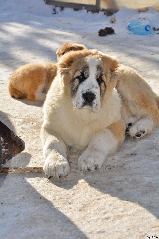 Среднеазиатская овчарка алабай – самая большая собака и самый преданный друг