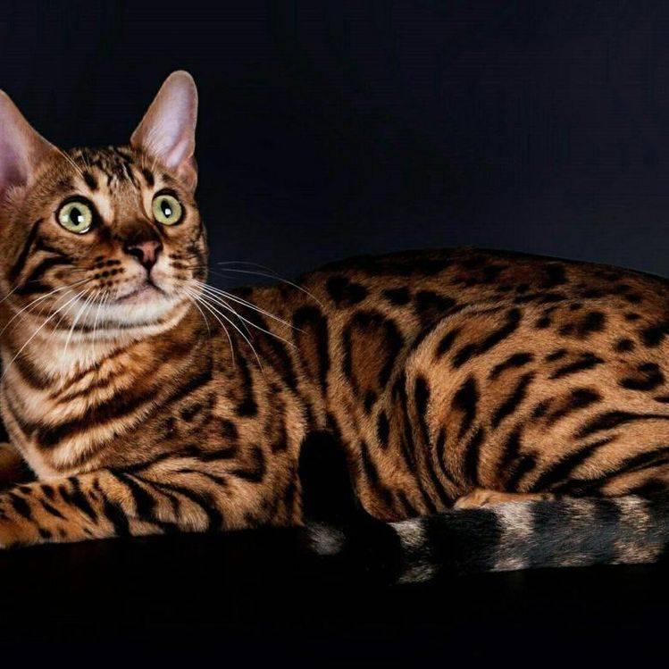 Леопардовая азиатская кошка: описание внешности и поведения, образ жизни и ареал обитания, размножение и численность вида
