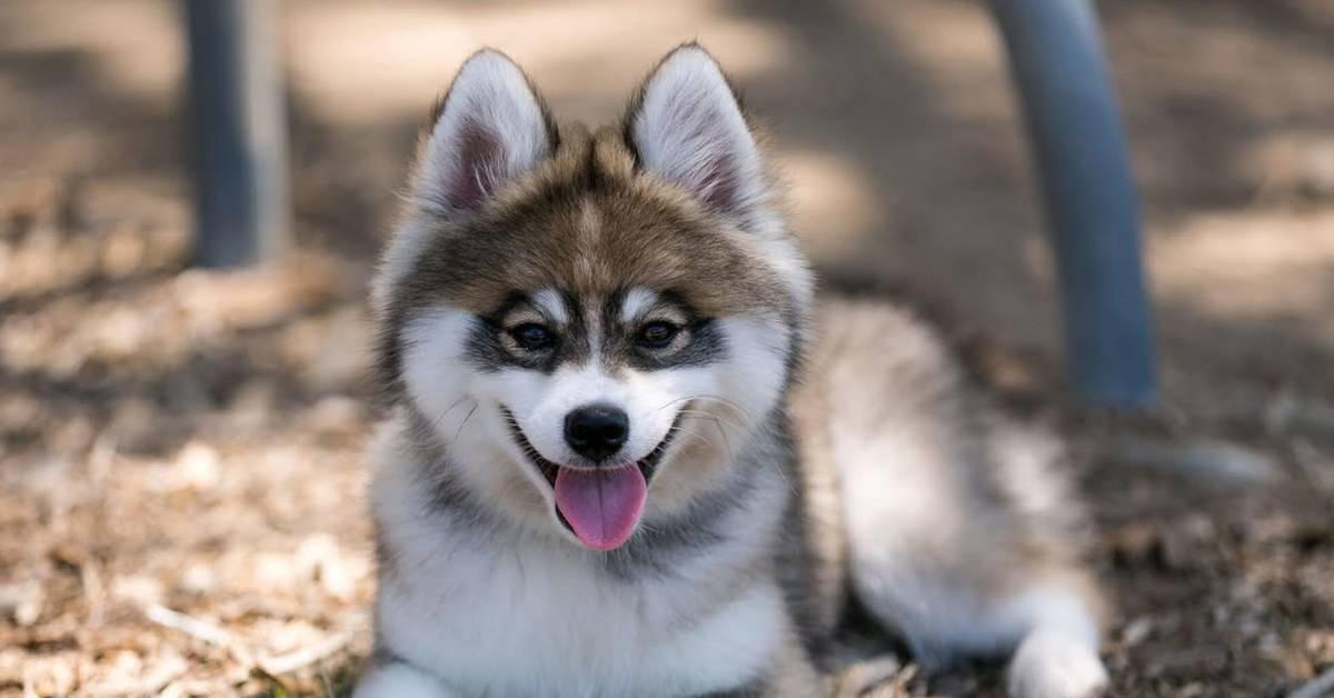 Помски порода собак. описание, особенности, характер, уход и цена помски | животный мир