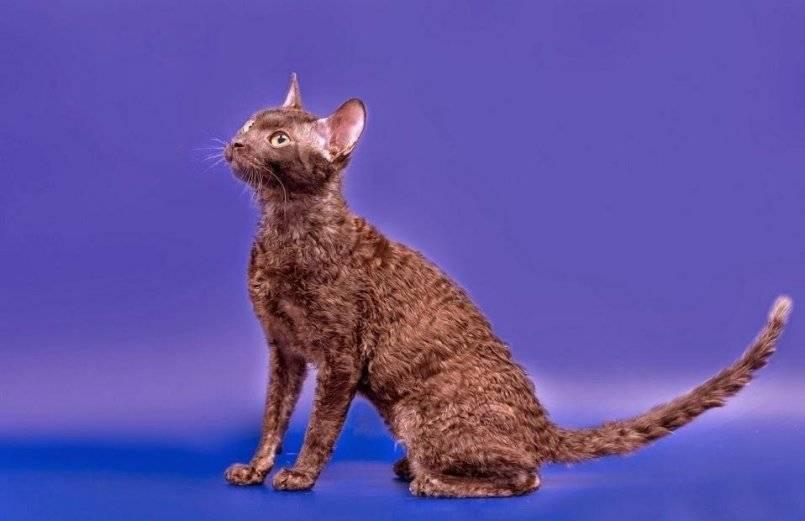 Уральский рекс: все о кошке, фото, описание породы, характер, цена