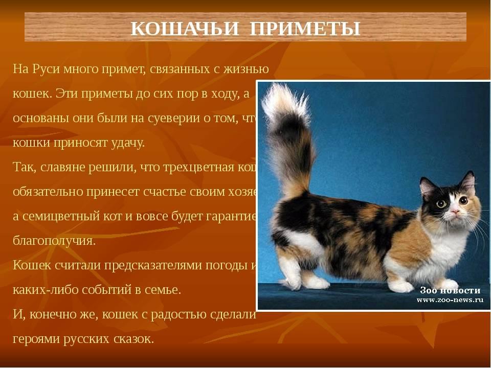 Приметы и суеверия связанные с трехцветными кошками