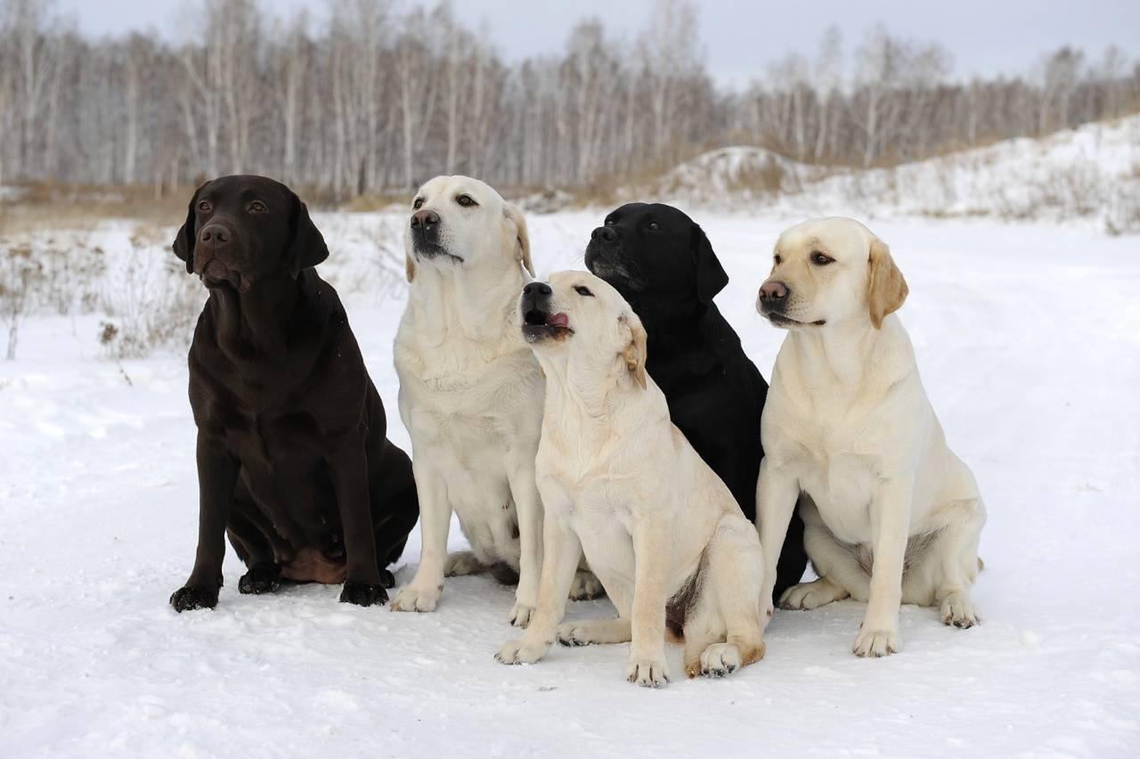 Породы собак, похожие на лабрадора: особенности внешнего вида и характера питомцев