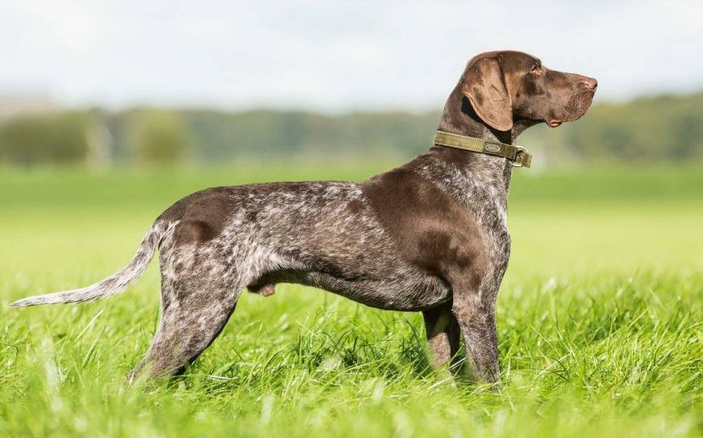 Охотничьи породы собак фото, названия | вибор собаки для охоты