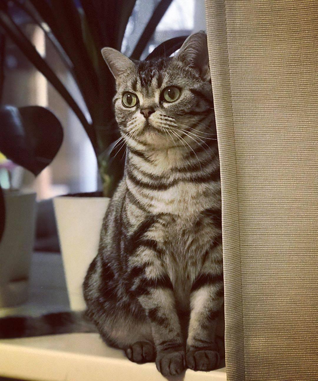 Американская короткошерстная кошка: фото, описание, цена