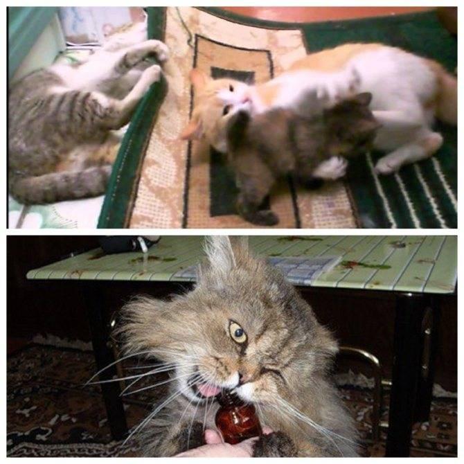 Почему кошки и коты любят валерьянку: как трава действует на животных, можно ли давать валерьянку кошкам – и в каких количествах