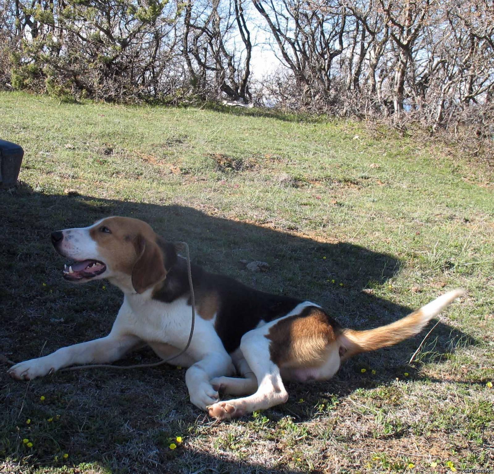 Характеристика внешности и поведения русской гончей пегой породы собак