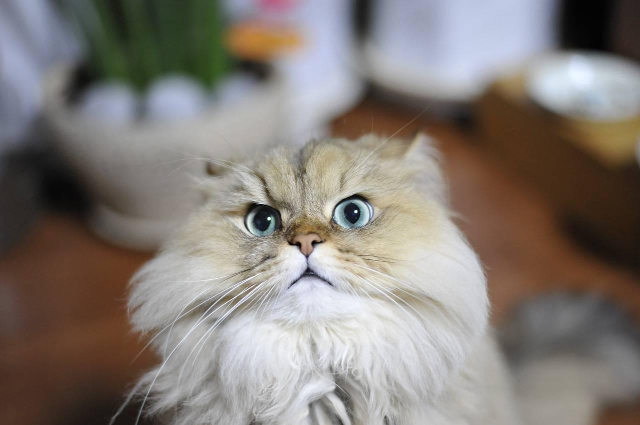 Персидская кошка |