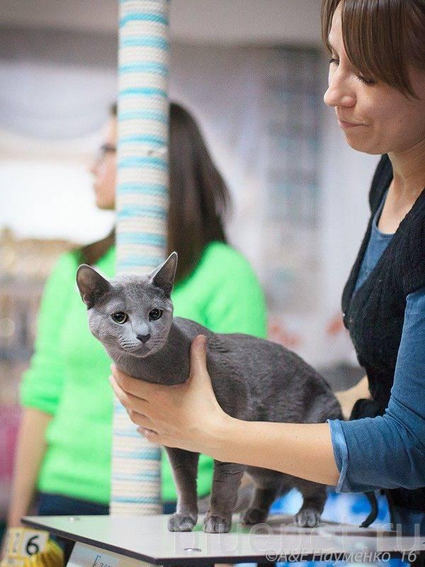 Питомники русских голубых кошек в москве и санкт-петербурге