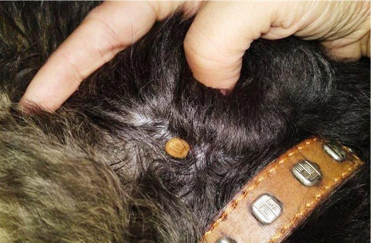 Пироплазмоз собак: симптомы, экспресс диагностика, лечение, прогноз и профилактика. | ветклиника веттал