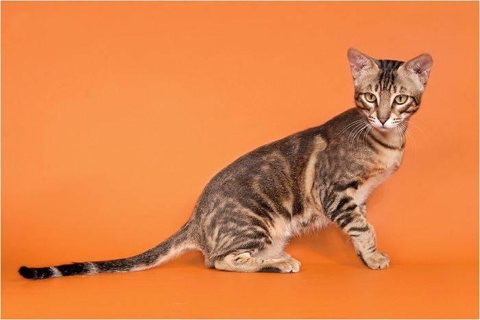 Экзотическая кошка породы сококе