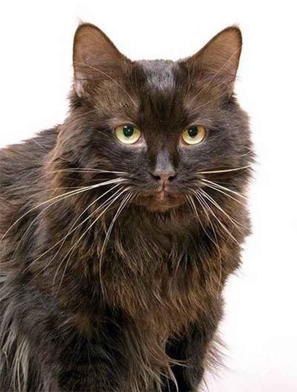 Коды пород кошек. коды окрасов кошек с фото. таблица окрасов кошек. система fife, wcf.