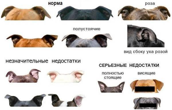 Резать нельзя оставить: нужно ли купировать уши и хвост собаке
