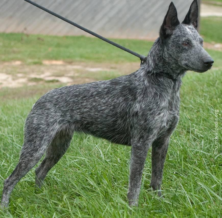 Австралийская короткохвостая пастушья собака (АКПС)