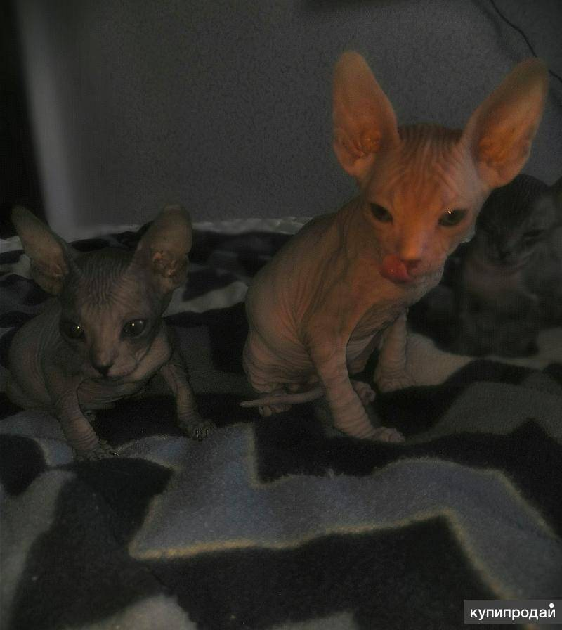Как определить пол маленького котёнка: как отличить новорождённого кота от кошки, в каком возрасте проще распознать мальчик это или девочка