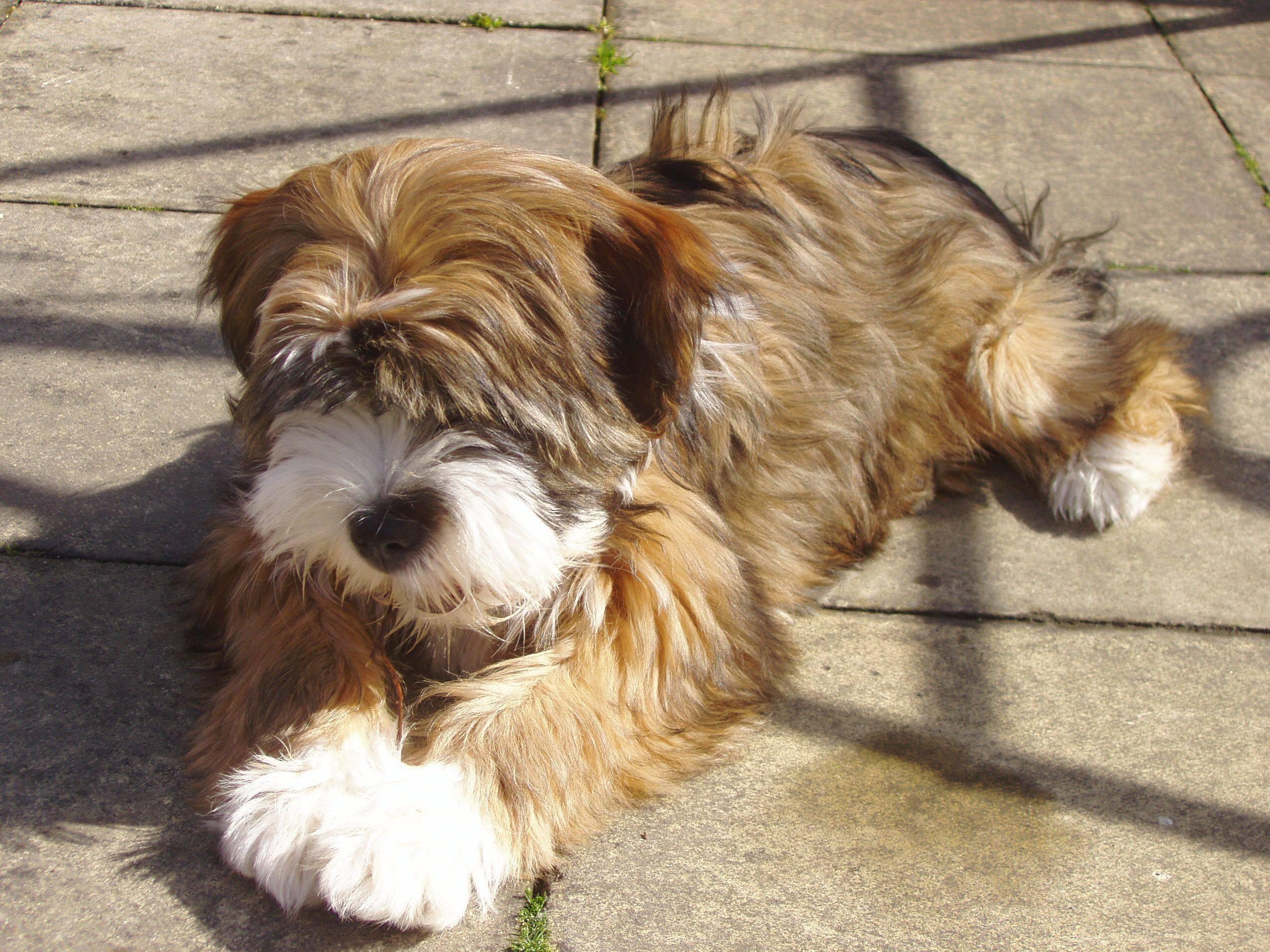 Йоркширский терьер: все о собаке, фото, описание породы, характер, цена