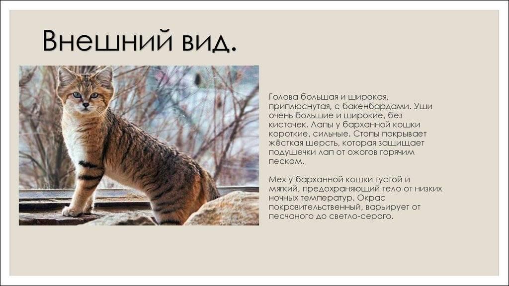Барханный (песчаный) кот: фото, описание, повадки, рацион