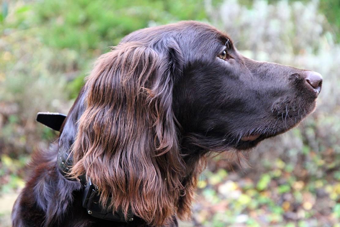 Длинношерстная немецкая овчарка: фото взрослых собак и щенков, принятый стандарт, особенности характера, правила ухода и дрессуры