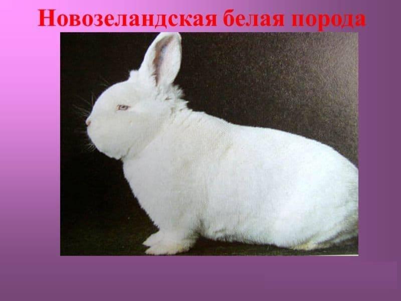 Новозеландский кролик — описание красной, белой и черной породы