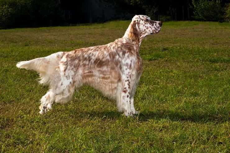Характеристика собак породы английский сеттер с отзывами и фото