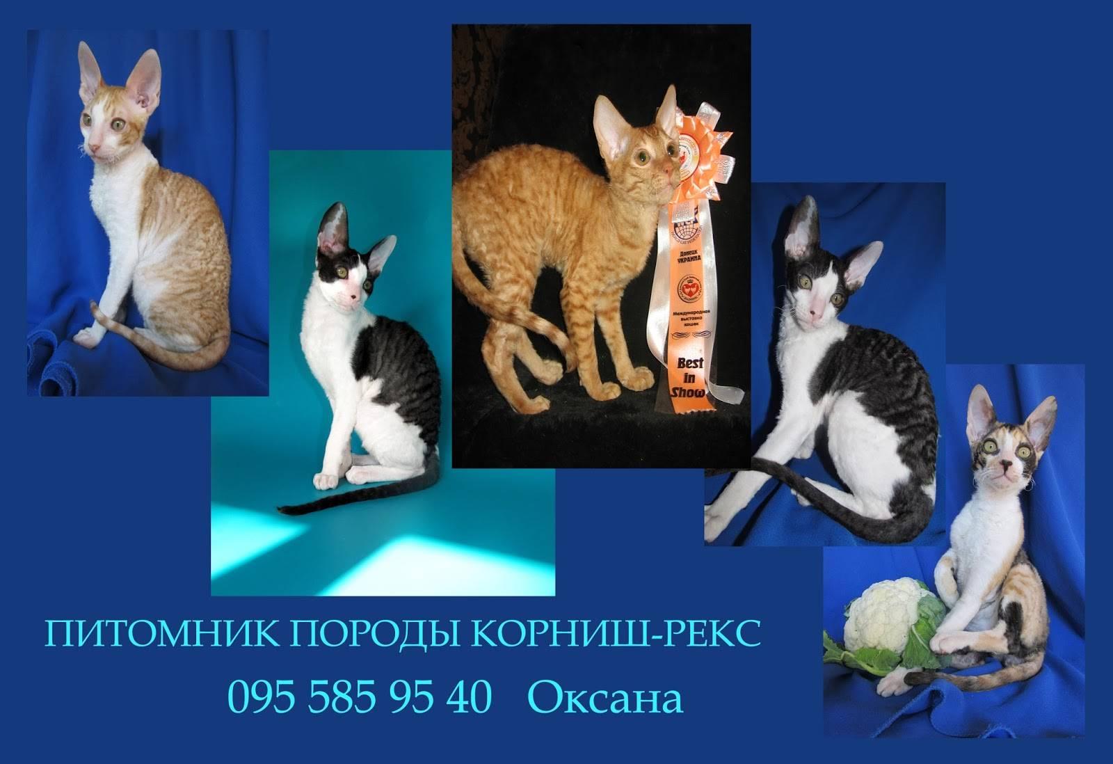 Уральский рекс: описание породы, фото, характер и уход, выбор котенка, отзывы владельцев