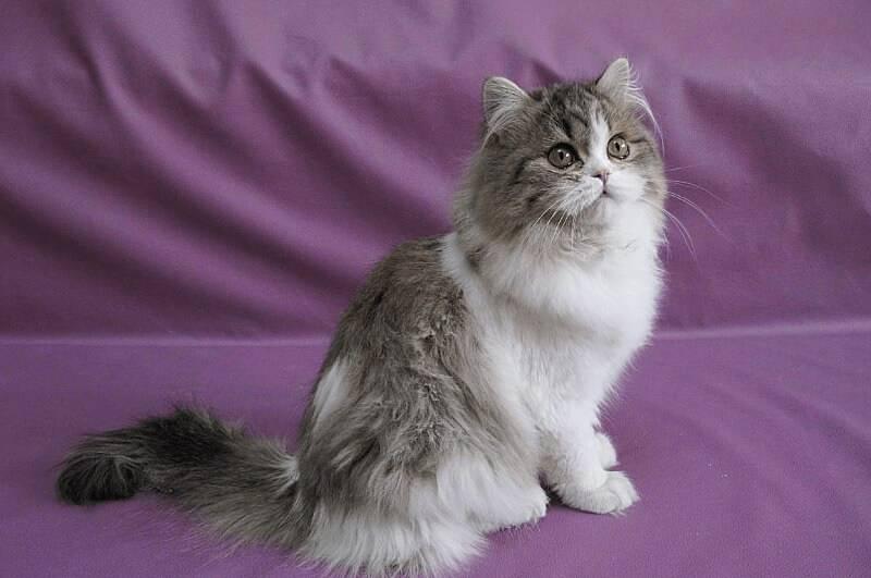 Шотландские прямоухие длинношерстные кошки породы хайленд страйт