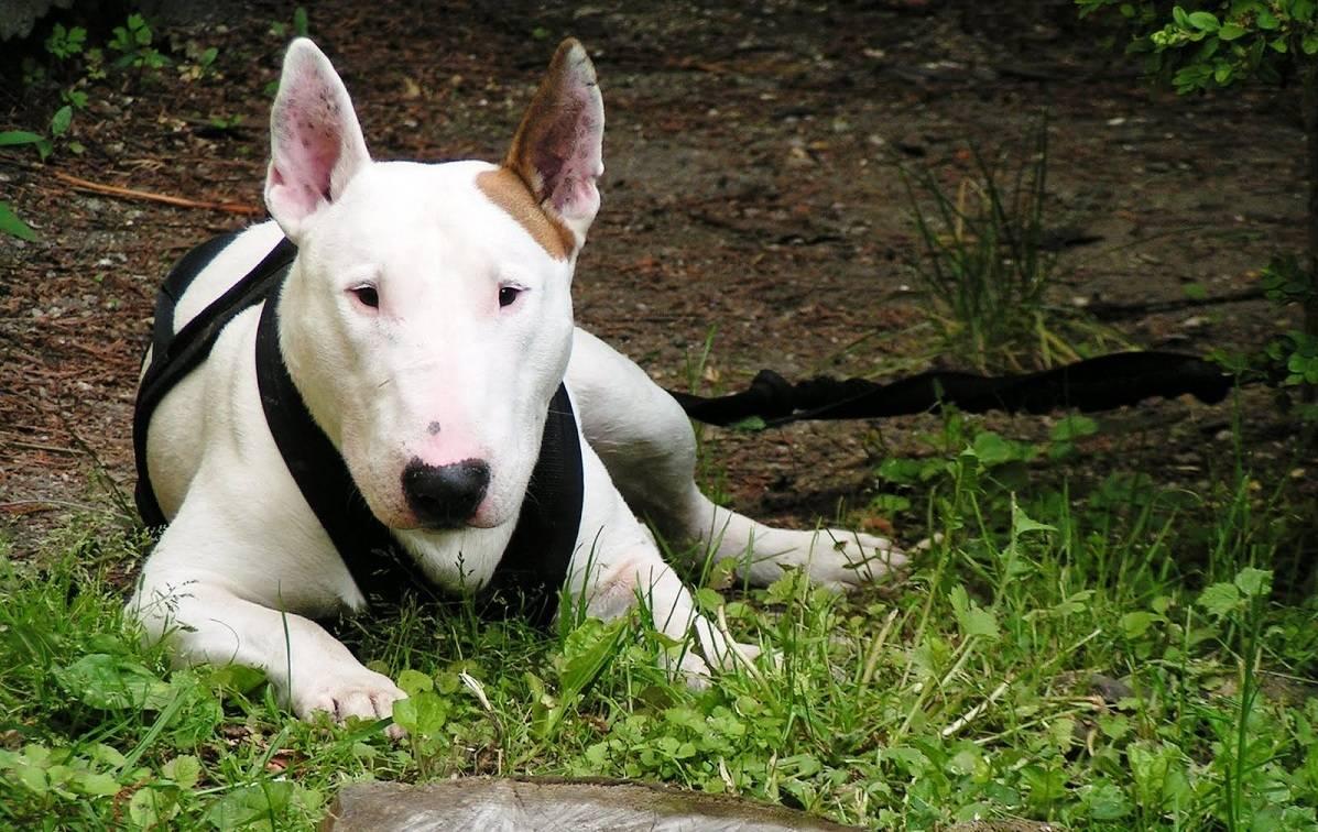 Бойцовские собаки - названия пород с описанием и характеристиками, опасность для человека и отзывы владельцев