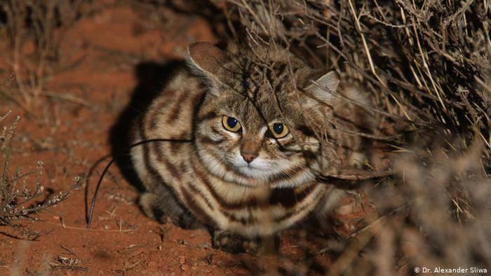Черноногая кошка: где обитает, как выглядит, на кого охотится? приживется ли она в домашних условиях?