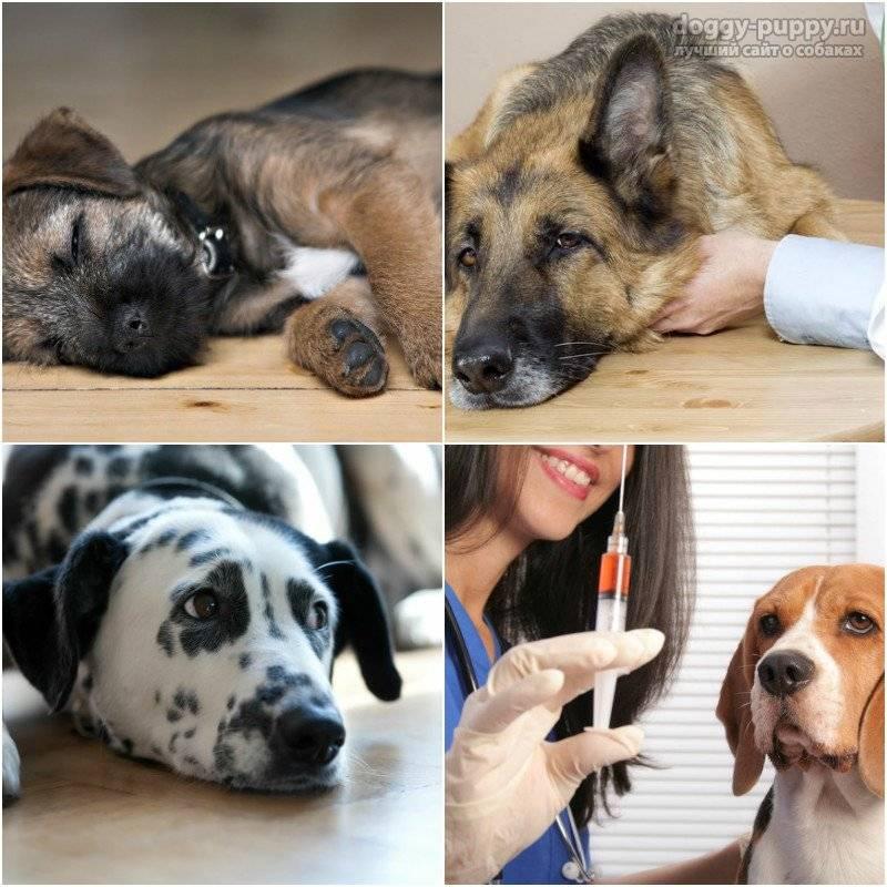 Форвет - чума плотоядных (чума собак) - лечение - профилактика