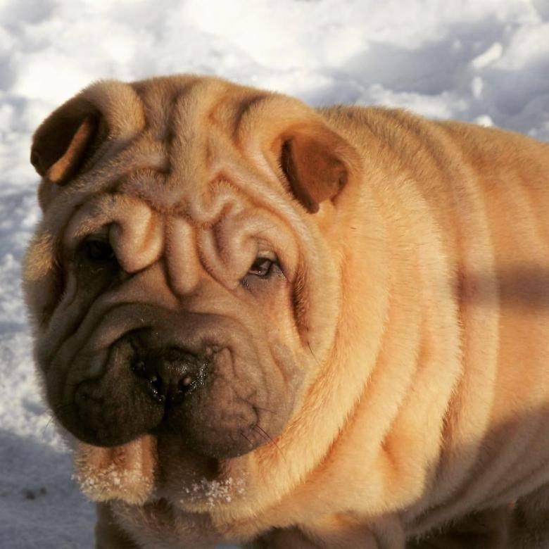 Метисы шарпея: виды и содержание собак