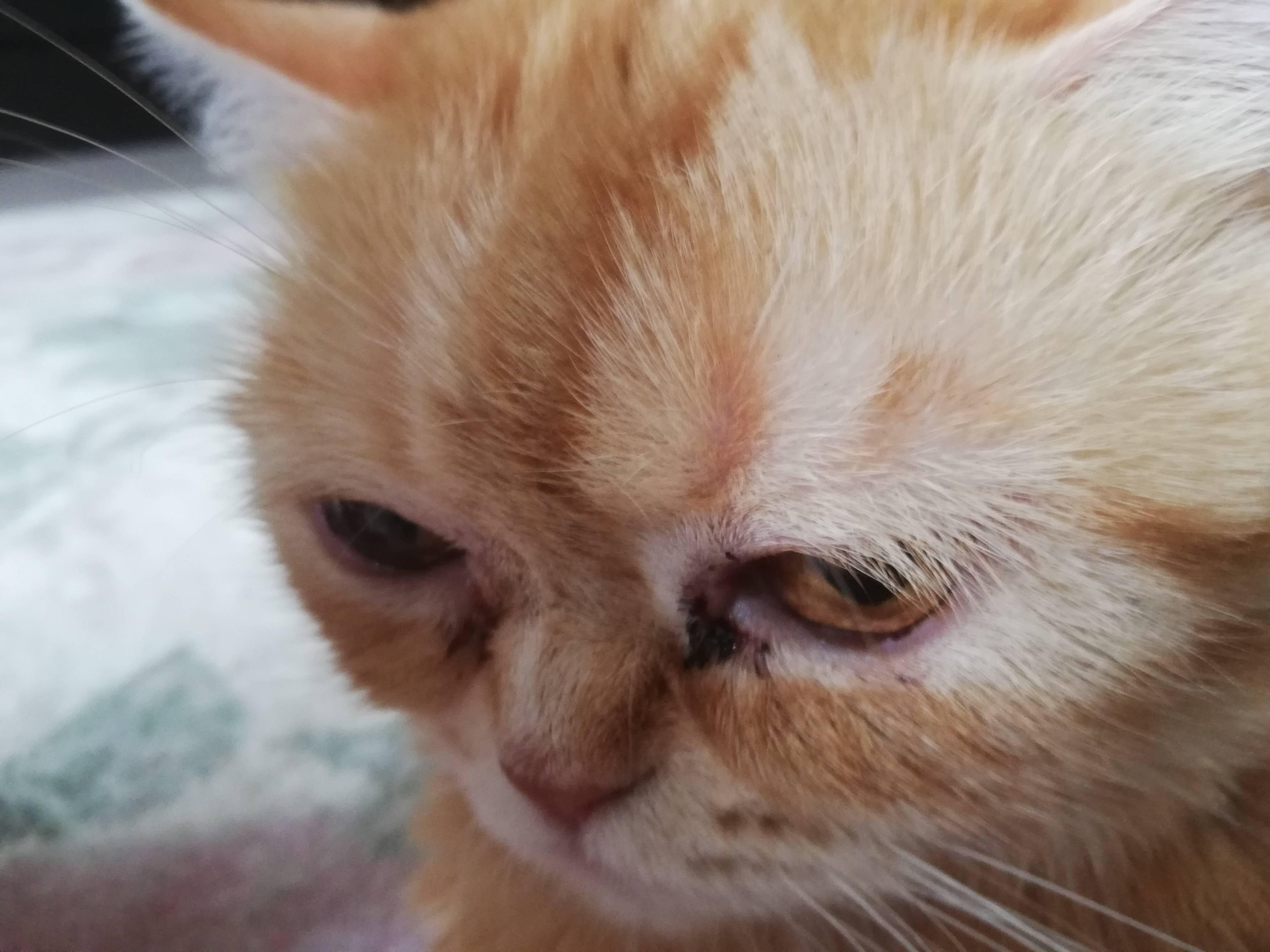 У кошки или кота слезятся один или оба глаза: почему, что делать и чем лечить котенка и взрослое животное в домашних условиях