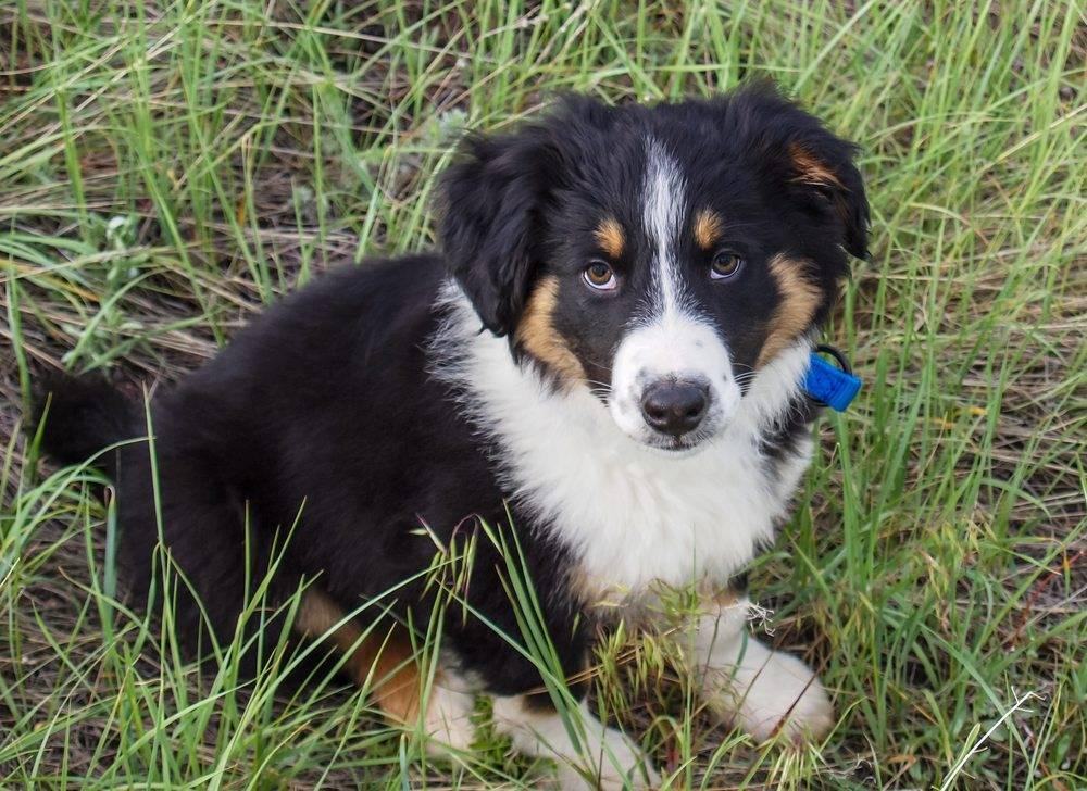Собака бобтейл (староанглийская овчарка): характеристики и фото породы, уход