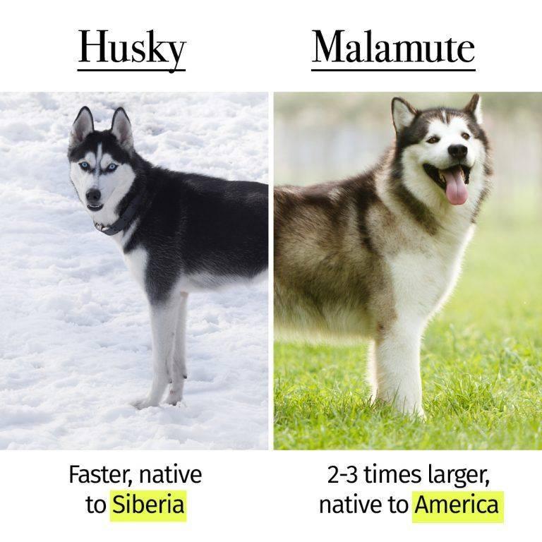В чем заключаются отличия собак породы маламут и хаски, как правильно определить собаку по внешним признакам и поведению