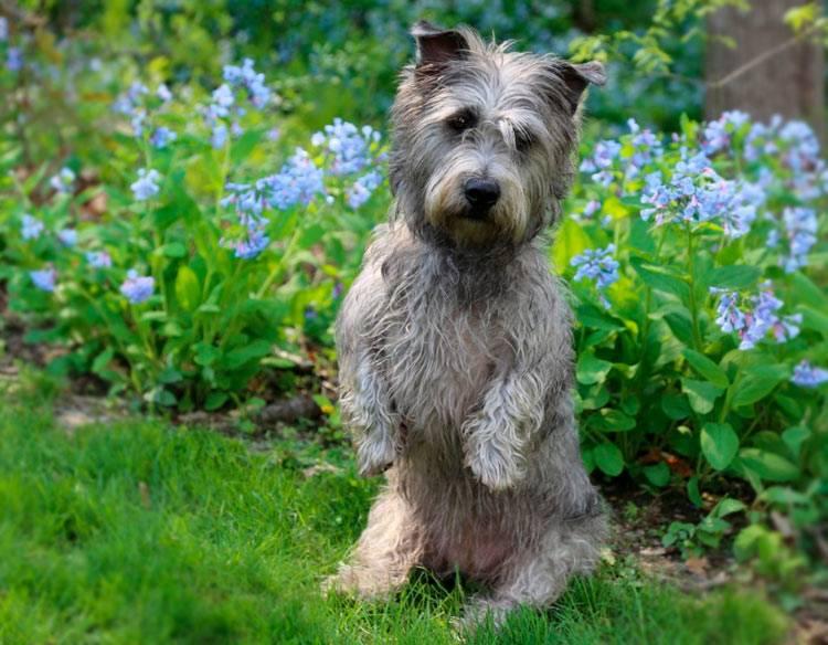 Ирландский глен-оф-имаал терьер (glen of imaal terrier) - животные и природа