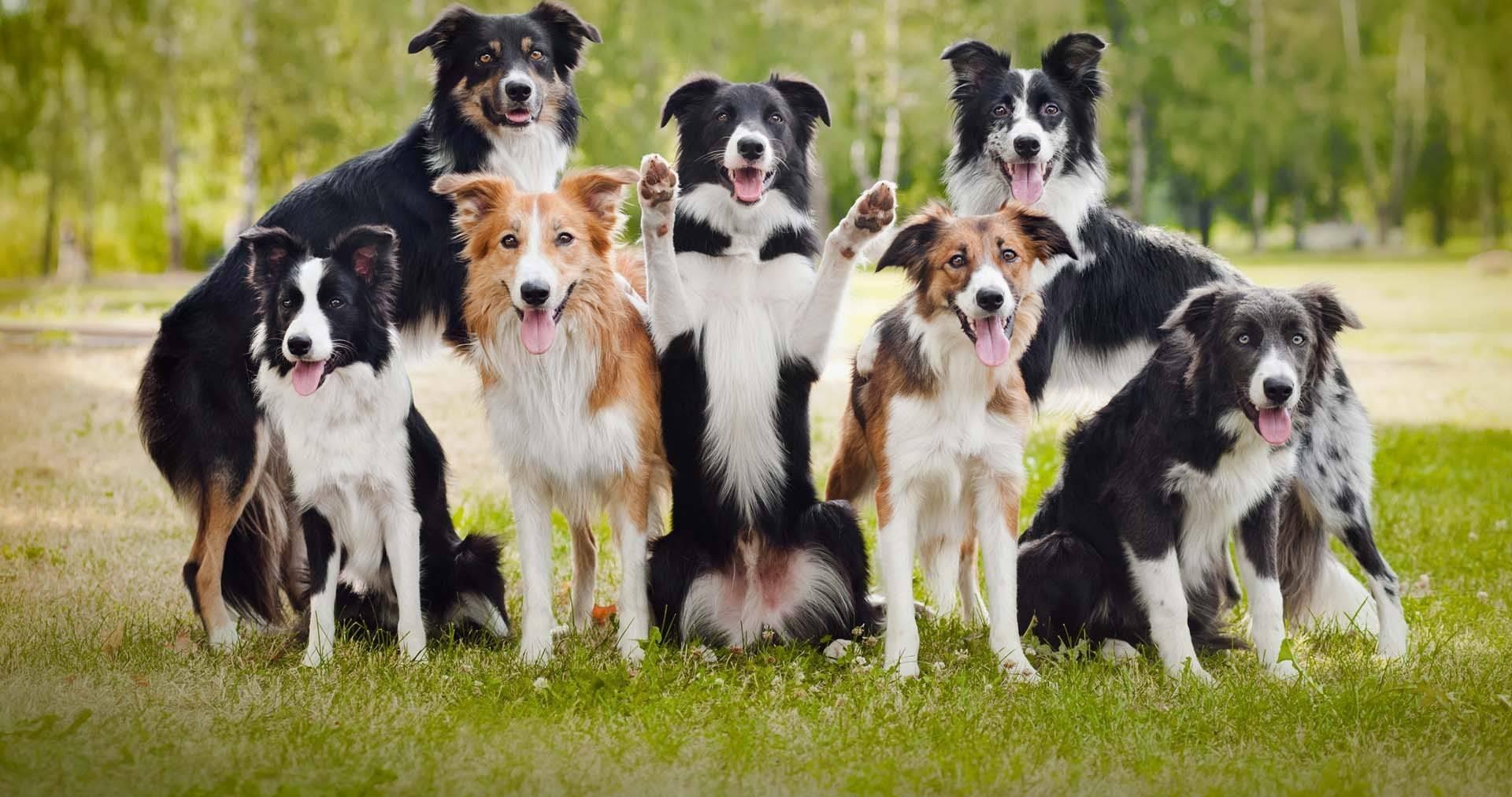 5 самых умных пород собак в мире