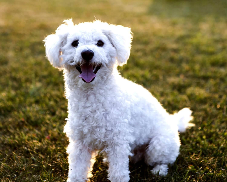 Собака болоньез (27 фото): особенности породы итальянская болонка, правила кормления и ухода